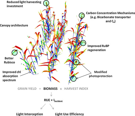 Improving Photosynthesis And Yield Potential In Cereal Crops By