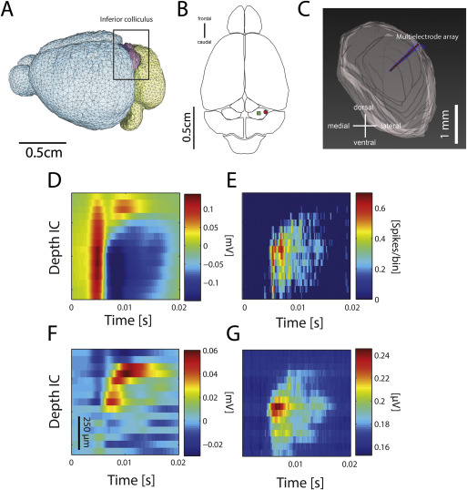 The contribution of inferior colliculus activity to the auditory ...