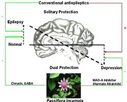 Dual Protective Effect Of Passiflora Incarnata In Epilepsy And Associated Post Ictal Depression Sciencedirect