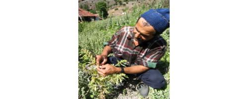 An Ethnobotanical Survey Of Medicinal Plants In Edremit Gulf