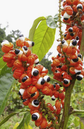 Guarana: Revisiting a highly caffeinated plant from the