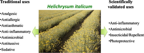 Helichrysum italicum: From traditional use to scientific
