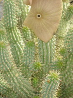 Hoodia Gordonii To Eat Or Not To Eat Sciencedirect