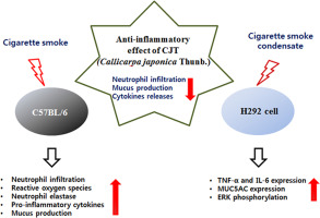 Callicarpa japonica Thunb  attenuates cigarette smoke-induced