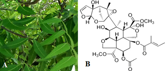 Effect of neem (Azadirachta indica A  Juss) leaf extract on