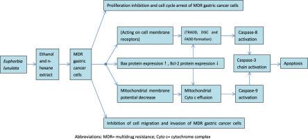 term paper on apoptosis