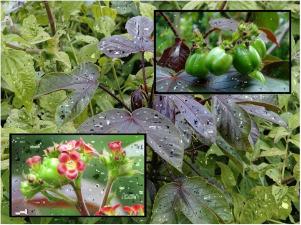 Jatropha Gossypifolia Pdf Download