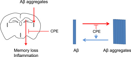 The fruit of Crataegus pinnatifida ameliorates memory