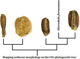 Mantidis Ootheca Mantis Egg Case Original Species Identification