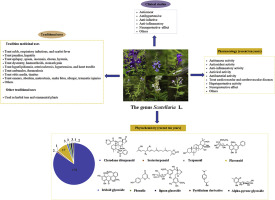 Traditional Uses Clinical Studies And Ten Years Research Progress In Phytochemistry And Pharmacology Of The Genus Scutellaria Sciencedirect