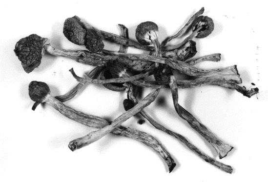Hallucinogenic mushrooms on the German market — simple