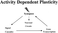 Surplus Of Synapses May Stunt Motor >> Clinical Disorders Of Brain Plasticity Sciencedirect