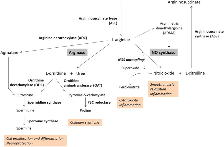 The role of arginase in aging: A systematic review