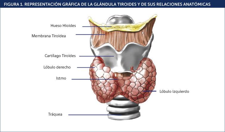 como+se+da+la+tiroides