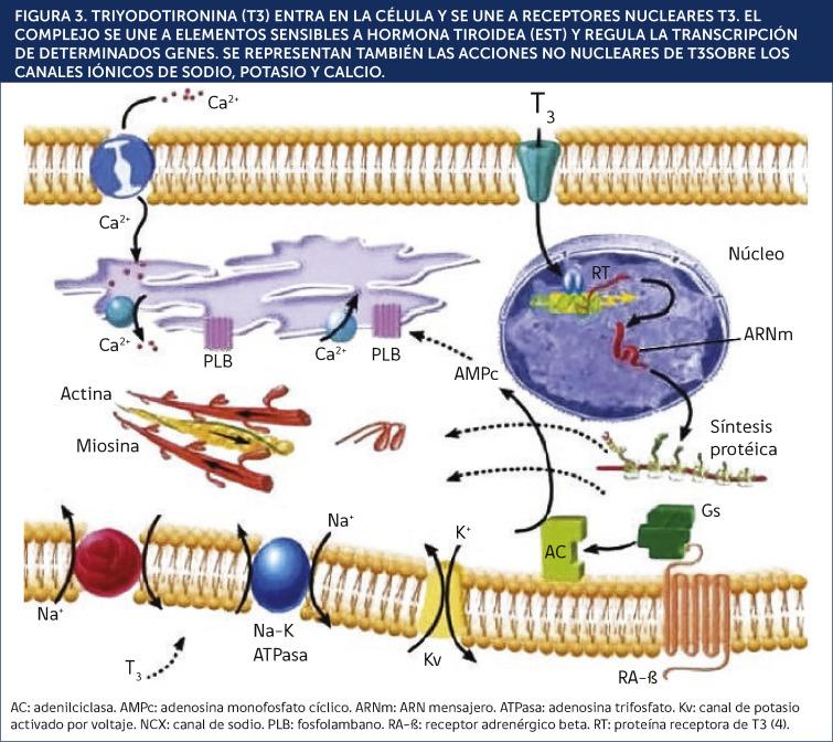 diabetes mellitus tipo 2 tratamiento natural tiroides