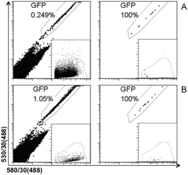 "Melanoma transplants in ""green"" mice: Fluorescent cells in"