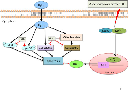 The protective ability and cellular mechanism of Koelreuteria ...