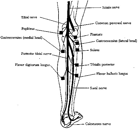 Entrapment Neuropathies Of The Tibial Posterior Tibial Nerve