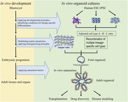 Neurotoxicity Predicted By Organoids >> Next Generation Organoids For Biomedical Research And