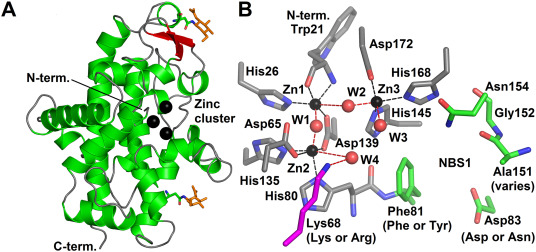 Characteristics and application of S1–P1 nucleases in ... on