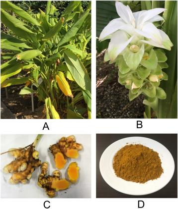 Curcumin, the golden spice in treating cardiovascular