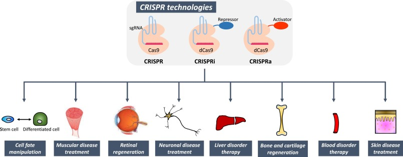 CRISPR technologies for stem cell engineering and