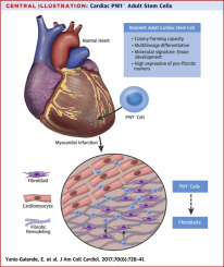 Fibrogenic Potential Of Pw1peg3 Expressing Cardiac Stem Cells