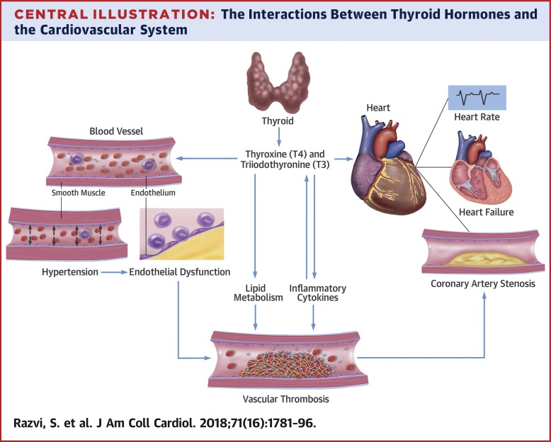 Thyroid Hormones And Cardiovascular Function And Diseases Sciencedirect