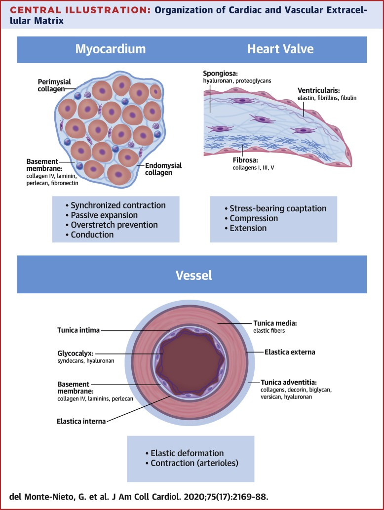 Basic Biology Of Extracellular Matrix In The Cardiovascular System