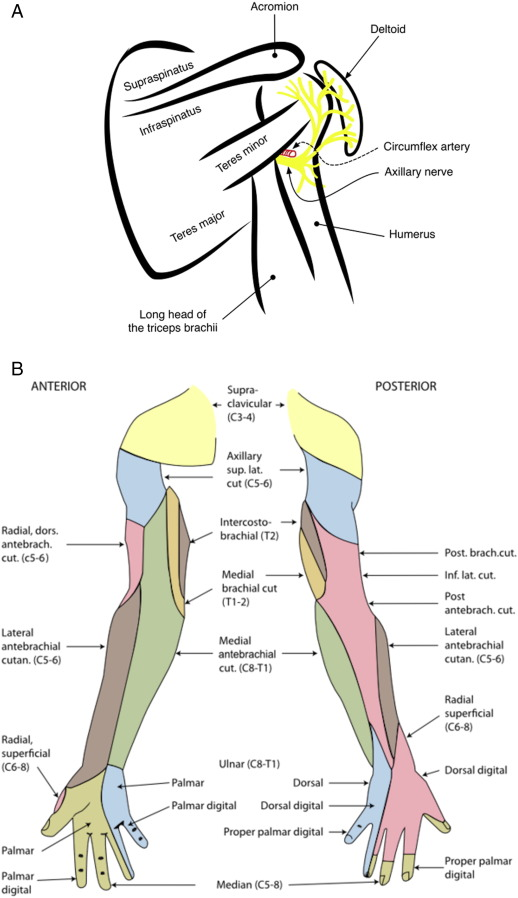 Ultrasound-guided axillary nerve block for ED incision and drainage ...