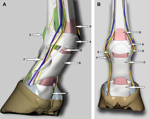 Proximal Digital Annular Ligament Desmotomy in Horses: A Cadaveric ...