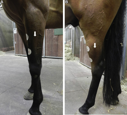 Magnetic Motor Evoked Potential Recording in Horses Using