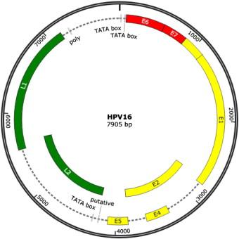 vaccin papillomavirus conservation