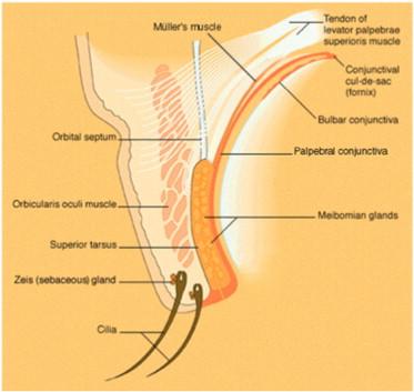 Human Ocular Anatomy Sciencedirect