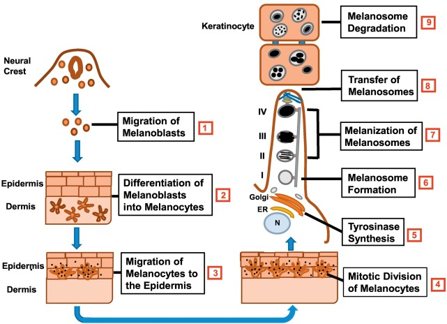 The physiology of melanin deposition in health and disease