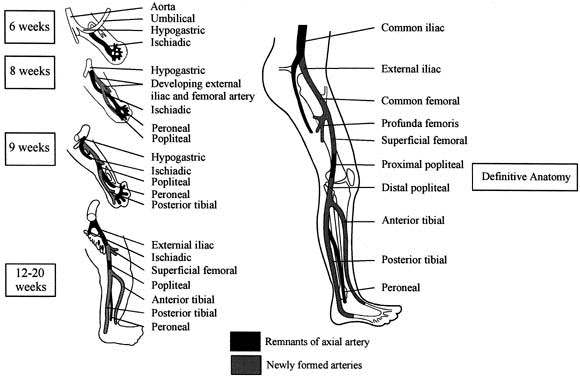 Popliteal artery entrapment syndrome: More common than previously ...