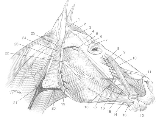 Clinical Anatomy Of The Equine Head Sciencedirect