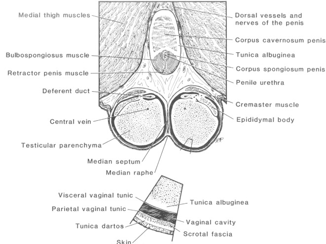 Reproductive Anatomy and Physiology of the Stallion - ScienceDirect