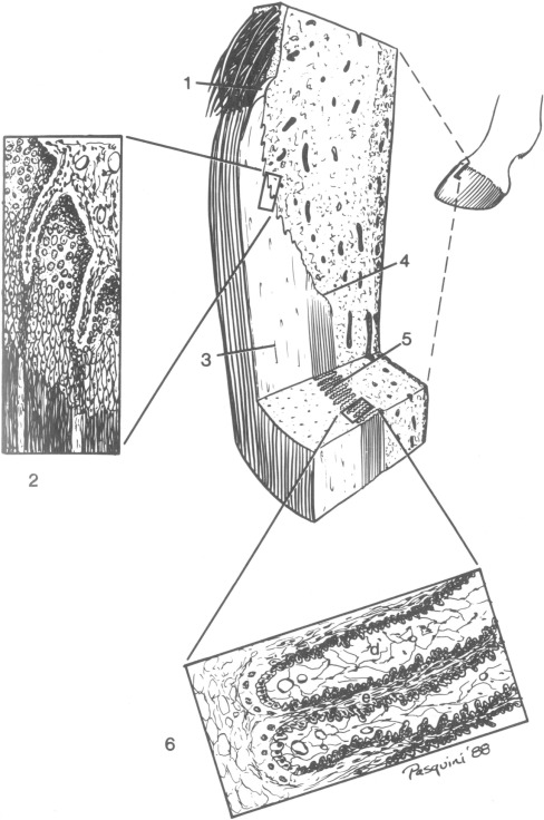 Clinical Anatomy Of The Equine Foot Sciencedirect