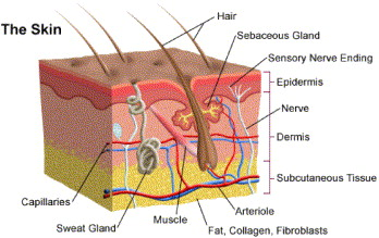 Skin and wound assessment and care in oncology sciencedirect the anatomy of skin ccuart Image collections