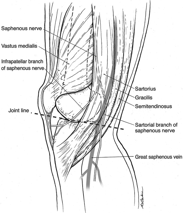 The Sartorial Branch Of The Saphenous Nerve Its Anatomy At The