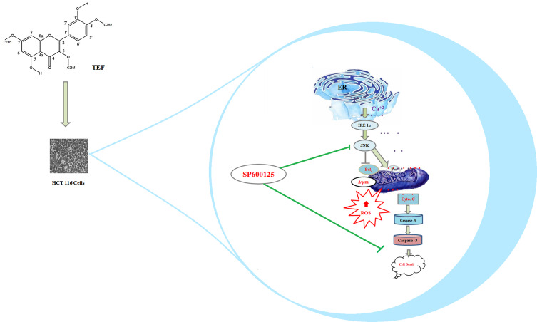 Novel quercetin derivative TEF induces ER stress and mitochondria