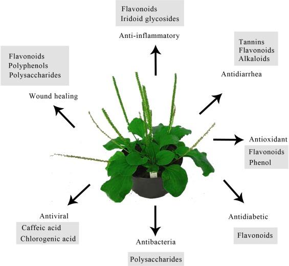 Bildresultat för plantago major medicinal