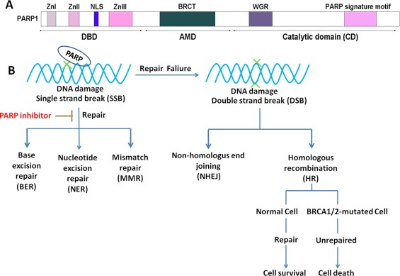 The Promising Parp Inhibitors In Ovarian Cancer Therapy From Olaparib To Others Sciencedirect
