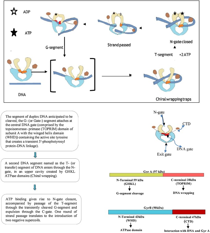 Dna Gyrase Inhibitors Progress And Synthesis Of Potent Compounds As Antibacterial Agents Sciencedirect Dna replication enzymes and proteins. dna gyrase inhibitors progress and