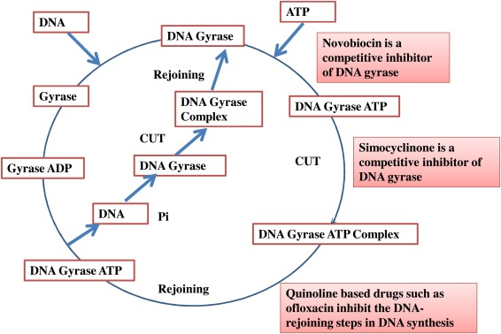 Dna Gyrase Inhibitors Progress And Synthesis Of Potent Compounds As Antibacterial Agents Sciencedirect Dna gyrase in the largest biology dictionary online. dna gyrase inhibitors progress and