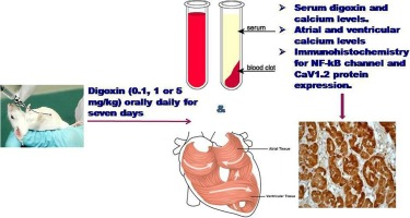 High doses of digoxin increase the myocardial nuclear factor