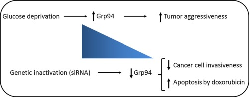 Glucose-regulated protein of 94 kDa contributes to the development