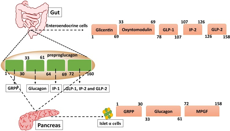Recent updates on GLP-1 agonists: Current advancements ...