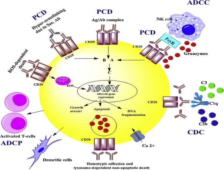 The applications of anti-CD20 antibodies to treat various B cells